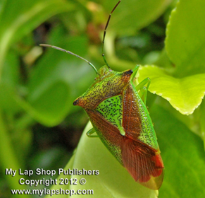 Title: Green Shield Bug - Description: Green Shield Bug